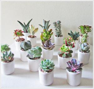 Bomboniere con piante grasse
