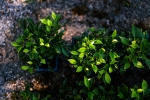 Bomboniere bonsai Vogliadibonsai